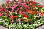 Областной центр Амурской области летом украсят цветами бегонии, сальвии и герани