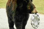 В Хабаровском крае дикий медведь напал на автомобиль
