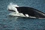 Житель Владивостока заметил в бухте Аякс Русского острова китов Минке