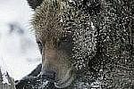 На Камчатке просыпаются бурые медведи