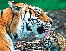Разработка золотой и серебряной руды в Хабаровском крае грозит уничтожением амурскому тигру
