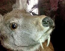 Посетители музея Владивостока были удивлены «саблезубым оленем»
